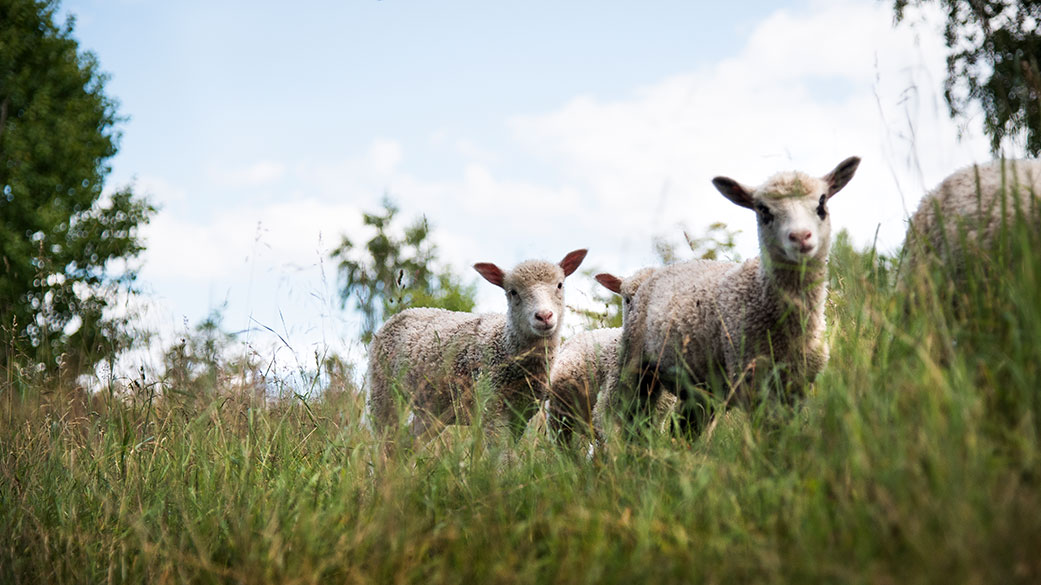 Sheep grazing on grass. Photo: Elias Lahtinen.