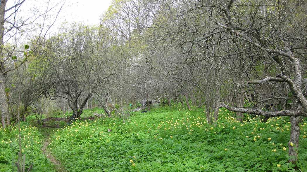 Naturstigen slingrar sig via lövängsväxtlighet och under gamla knotiga träd.