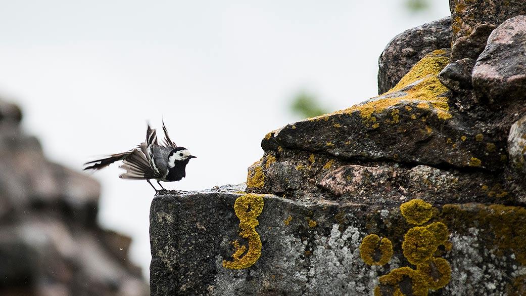 En sädesärla sitter på en sten vid ruinerna och flaxar med sina vingar.