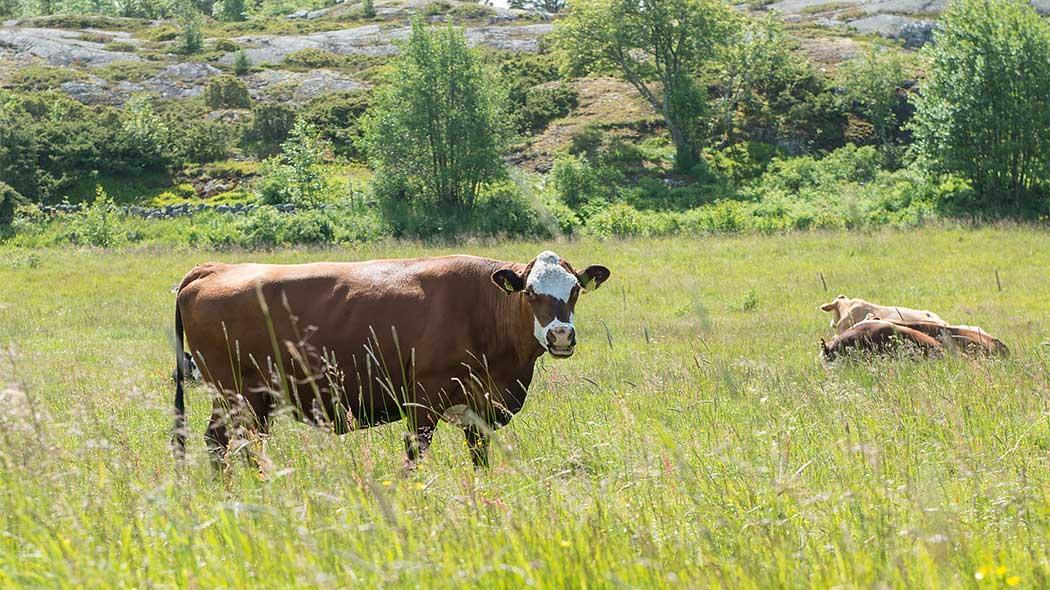 Kaksi lehmää laitumella, toinen seisoo ja toinen makaa heinikossa. Taustalla on kallio.
