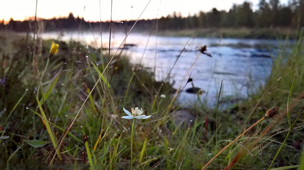 En vitblommig växt vid åstranden bland gräset.